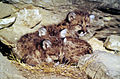 Mountain lion kittens.jpg