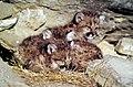 Mountain lion kittens.jpg