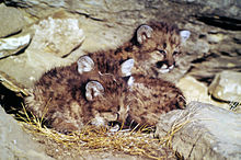 59187f5f5cb5 Wikijunior Big Cats Raising young - Wikibooks