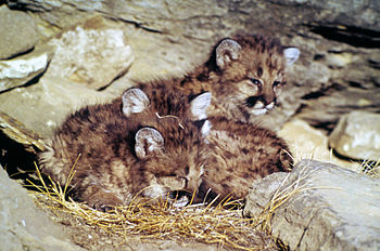 Young mountain lion kittens