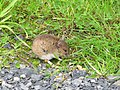 Mouse by the path - geograph.org.uk - 1447197.jpg