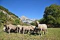 Moutons à Prads en Haute-Provence.jpg