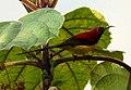 Mrs. Gould's Sunbird Aethopyga gouldiae Male by Raju Kasambe DSC 1567 (9).jpg