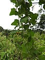 Mukia maderaspatana-3-semmadu-yercaud-salem-India.jpg