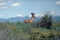 Mule Deer Curlew.jpg