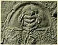 Mummaspis occidens USNM PAL 60080.jpg