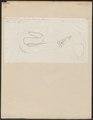 Muraena helena - 1774-1804 - Print - Iconographia Zoologica - Special Collections University of Amsterdam - UBA01 IZ15300009.tif