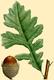 NAS-004g Quercus macrocarpa.png