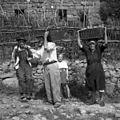 """Na Kozjanah že obirajo sadje. Trgajo ga s """"trganko"""", nosijo v oprtnjaku in košarah, Kovačičevi, Kozjane 1955.jpg"""