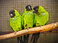 Nanday Parakeets at Seaview Wildlife Encounter.jpg