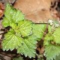 Nanocnide japonica (leaf).jpg