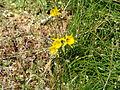 Narcissus Golden Bells (1).jpg