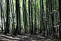 Nationalpark Jasmund Rügen Buchenwald.jpg