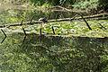 Naturschutzgebiet Elmpter Schwalmbruch Sommer 2015 -8731.jpg