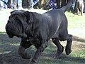 Neapolitan Mastiff Movement.jpg