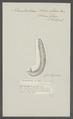 Nematoideum siluri glanis - - Print - Iconographia Zoologica - Special Collections University of Amsterdam - UBAINV0274 105 18 0015.tif
