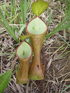 <i>Nepenthes reinwardtiana</i>