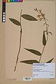 Neuchâtel Herbarium - Cephalanthera rubra - NEU000046809.jpg