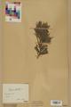 Neuchâtel Herbarium - Pinus sylvestris - NEU000003773.tif