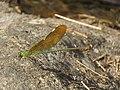 Neurobasis chinensis - Stream Glory - female - Aralam Butterfly Survey at Kottiyoor, 2019 (1).jpg