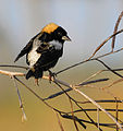 New Bobolink Series from Lake Woodruff - Flickr - Andrea Westmoreland.jpg