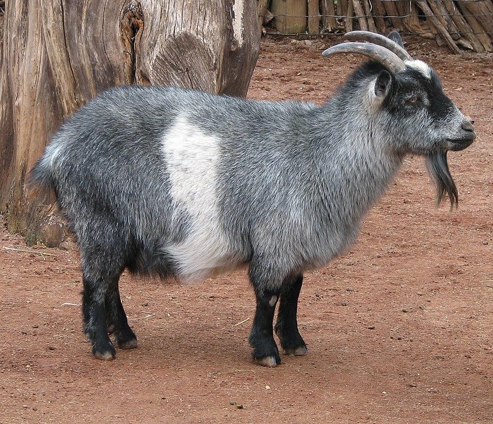 Nigerian Dwarf Goat 001