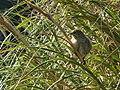 Nightingale Bunting Nesospiza questi (cropped).jpg