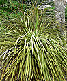 Nolina parryi ssp wolfii 1.jpg