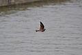 Northern Rough-winged Swallow (Stelgidopteryx serripennis) (13806434385).jpg