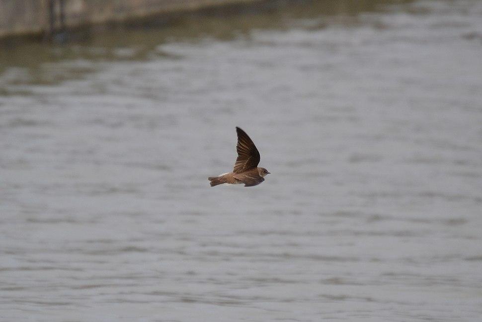 Northern Rough-winged Swallow (Stelgidopteryx serripennis) (13806434385)