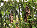 Norway Spruce cones (Picea abies).jpg