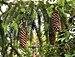 Norway Spruce cones (Picea abies).jpg