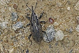 Sphenophorus - Sphenophorus cariosus