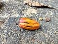 Nutmeg seeds Anaimalai hills IMG 20180418 073807255 HDR.jpg
