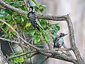 Nuttall's Woodpecker - Flickr - GregTheBusker (1).jpg