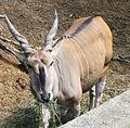 Nyíregyháza Zoo, Taurotragus oryx.jpg