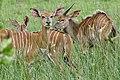 Nyalas (Tragelaphus angasii) female and young males ... (50089669443).jpg