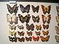 Nymphalidae - Oslo Zoological Museum - IMG 9081.jpg