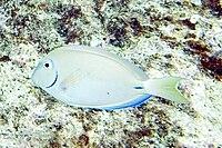 Ocean surgeonfish Acanthurus bahianus
