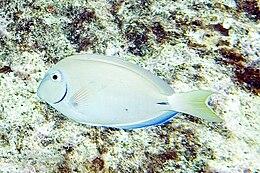 Ocean surgeonfish Acanthurus bahianus.jpg