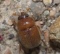 Ochodaeidae P1110342a.jpg