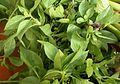 Ocimum basilicum (Leaves).JPG