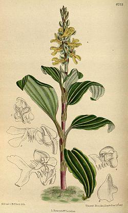 Odontochilus lanceolatus 144-8753.jpg
