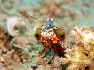 A colourful mantis shrimp is seen head-on. Its antennae are spread sideways, and its clubbed claws are held ready to strike.