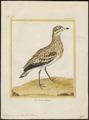 Oedicnemus crepitans - 1700-1880 - Print - Iconographia Zoologica - Special Collections University of Amsterdam - UBA01 IZ17200079.tif