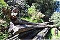 Old Sacred Tree at Alishan.jpg