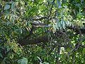 Olea dioica Roxb. (16036575549).jpg
