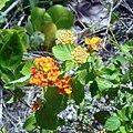 Oleta River State Park - Wild Lantana flowers 01.jpg