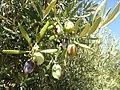 Olivenbaum, Sithonia.jpg