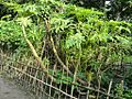 One papaya trees.jpg